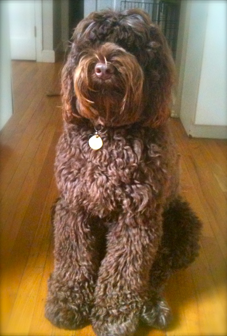 LABRADOODLE ADOPTION